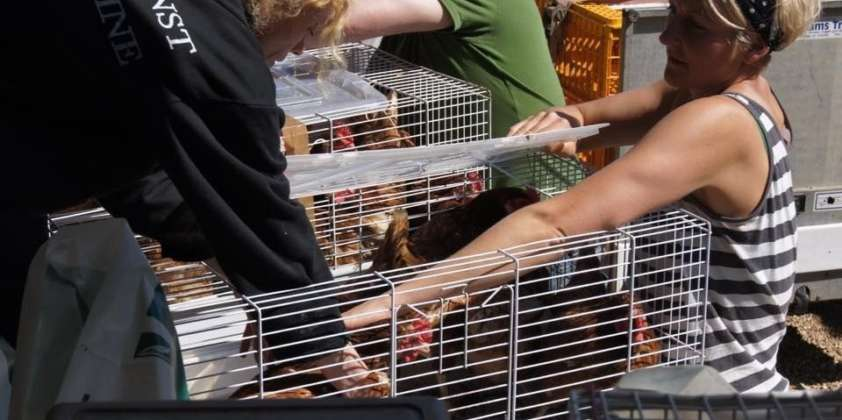 Re homing our girls- Help us to give our chickens the retirement home they deserve.